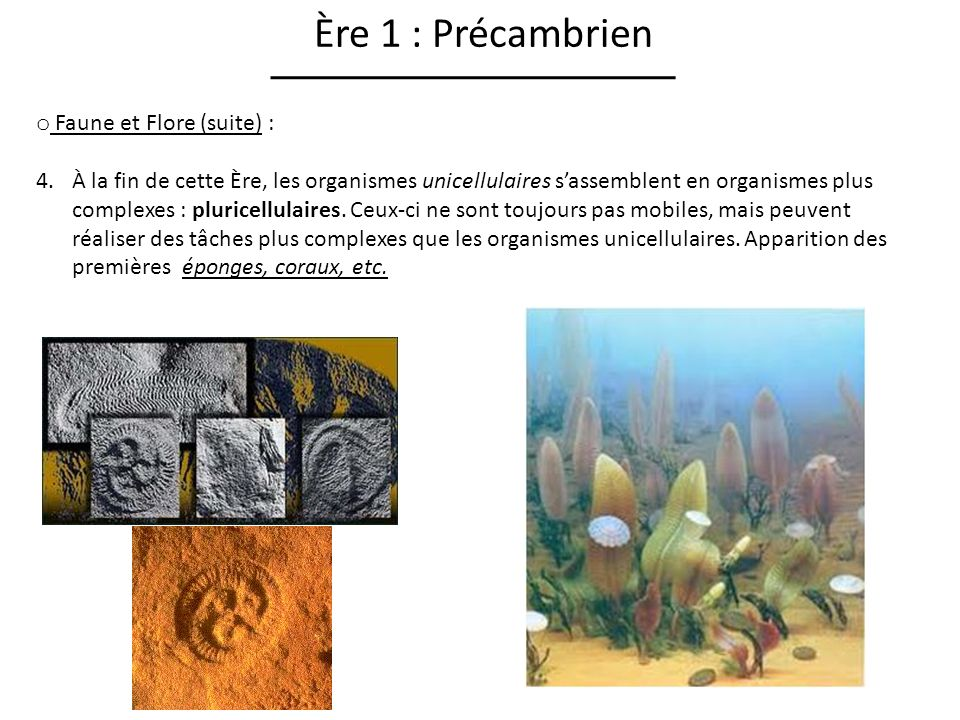 Ère 1 : Précambrien Faune et Flore (suite) :
