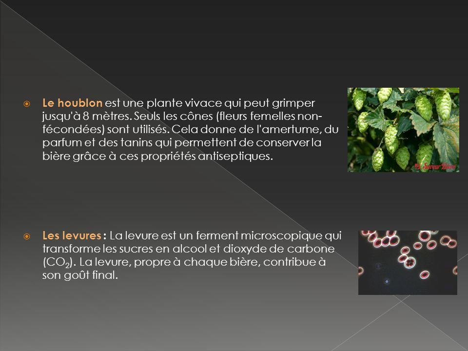Le houblon est une plante vivace qui peut grimper jusqu à 8 mètres