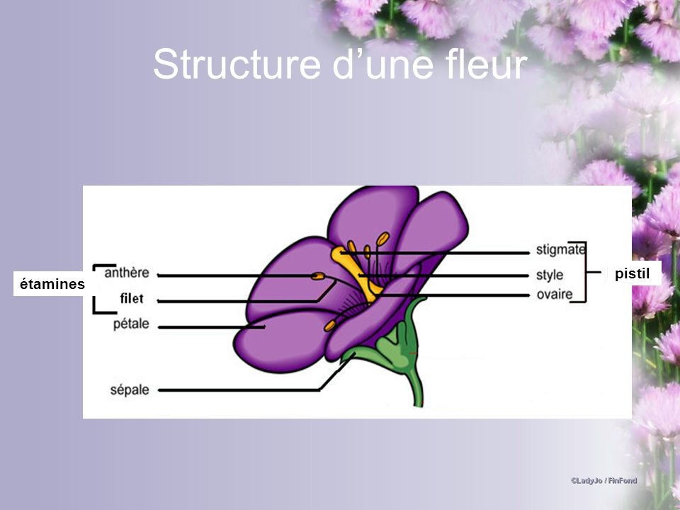 Structure d'une fleur pistil étamines