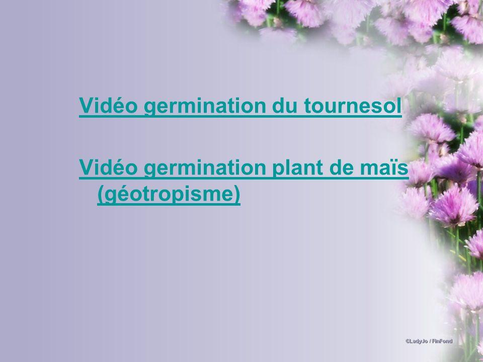 Vidéo germination du tournesol