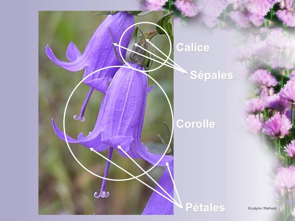Calice Sépales Corolle Pétales