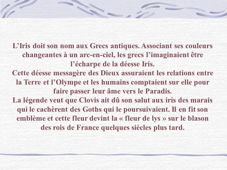 L'Iris doit son nom aux Grecs antiques