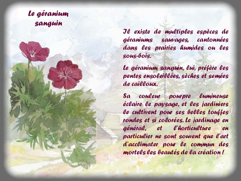 Le géranium sanguin Il existe de multiples espèces de géraniums sauvages, cantonnées dans les prairies humides ou les sous-bois.