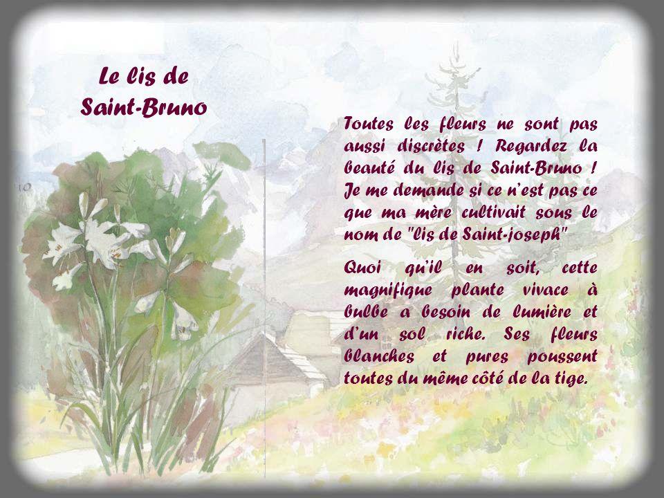 Le lis de Saint-Bruno