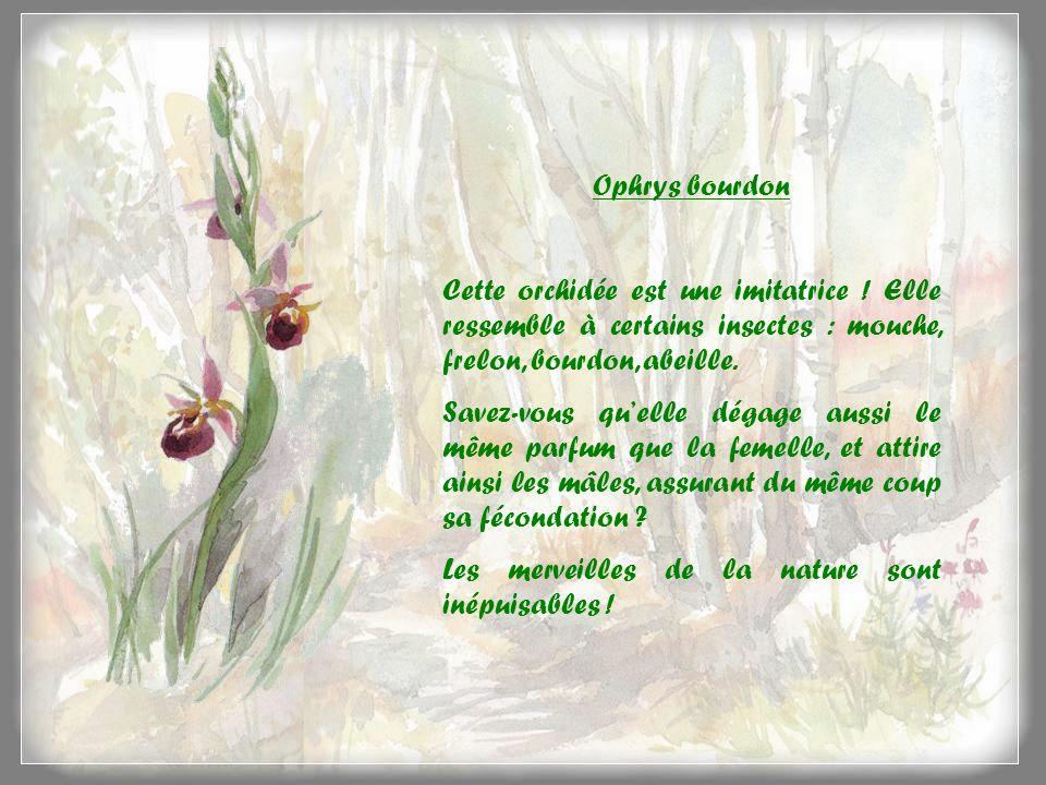 Ophrys bourdon Cette orchidée est une imitatrice ! Elle ressemble à certains insectes : mouche, frelon, bourdon, abeille.