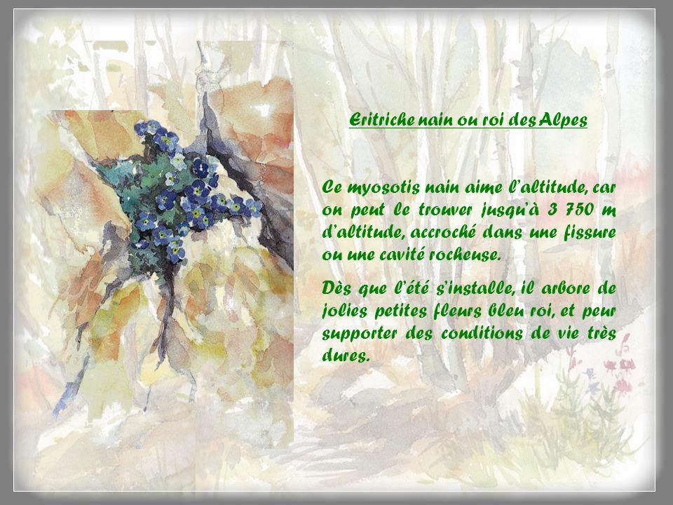 Eritriche nain ou roi des Alpes