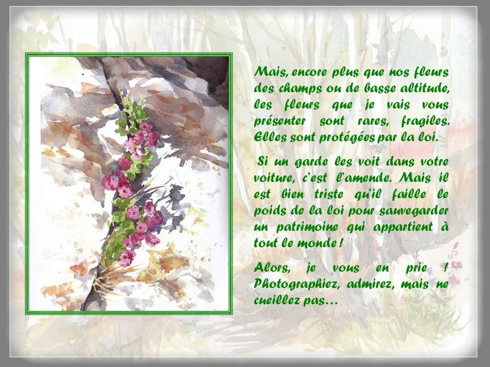 Mais, encore plus que nos fleurs des champs ou de basse altitude, les fleurs que je vais vous présenter sont rares, fragiles. Elles sont protégées par la loi.