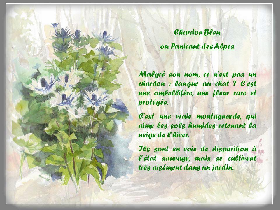 Chardon Bleu ou Panicaut des Alpes. Malgré son nom, ce n'est pas un chardon : langue au chat C'est une ombellifère, une fleur rare et protégée.