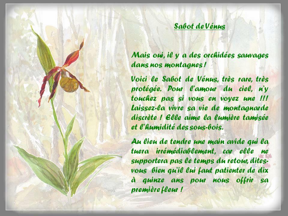 Sabot de Vénus Mais oui, il y a des orchidées sauvages dans nos montagnes !