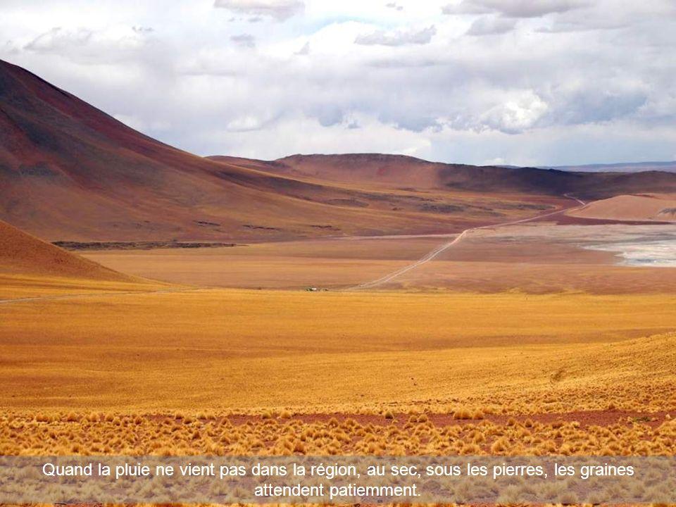 Quand la pluie ne vient pas dans la région, au sec, sous les pierres, les graines attendent patiemment.