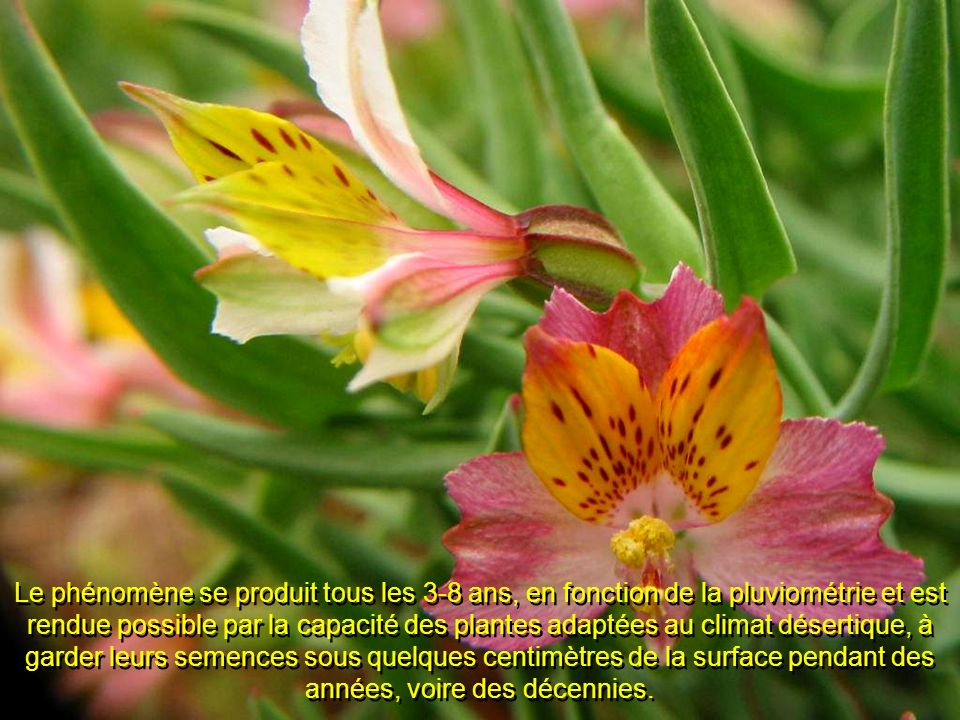 Le phénomène se produit tous les 3-8 ans, en fonction de la pluviométrie et est rendue possible par la capacité des plantes adaptées au climat désertique, à garder leurs semences sous quelques centimètres de la surface pendant des années, voire des décennies.