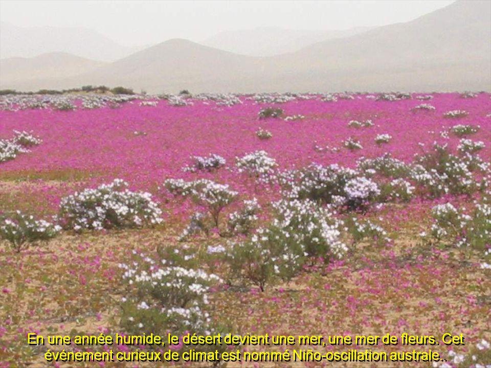 En une année humide, le désert devient une mer, une mer de fleurs