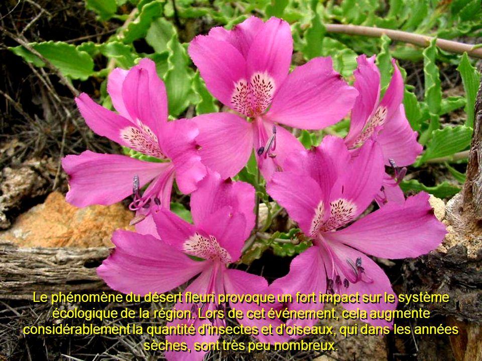 Le phénomène du désert fleuri provoque un fort impact sur le système écologique de la région.