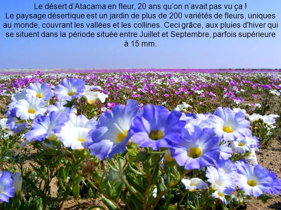 Le désert d'Atacama en fleur, 20 ans qu'on n'avait pas vu ça !