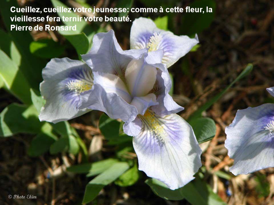 Cueillez, cueillez votre jeunesse: comme à cette fleur, la vieillesse fera ternir votre beauté.