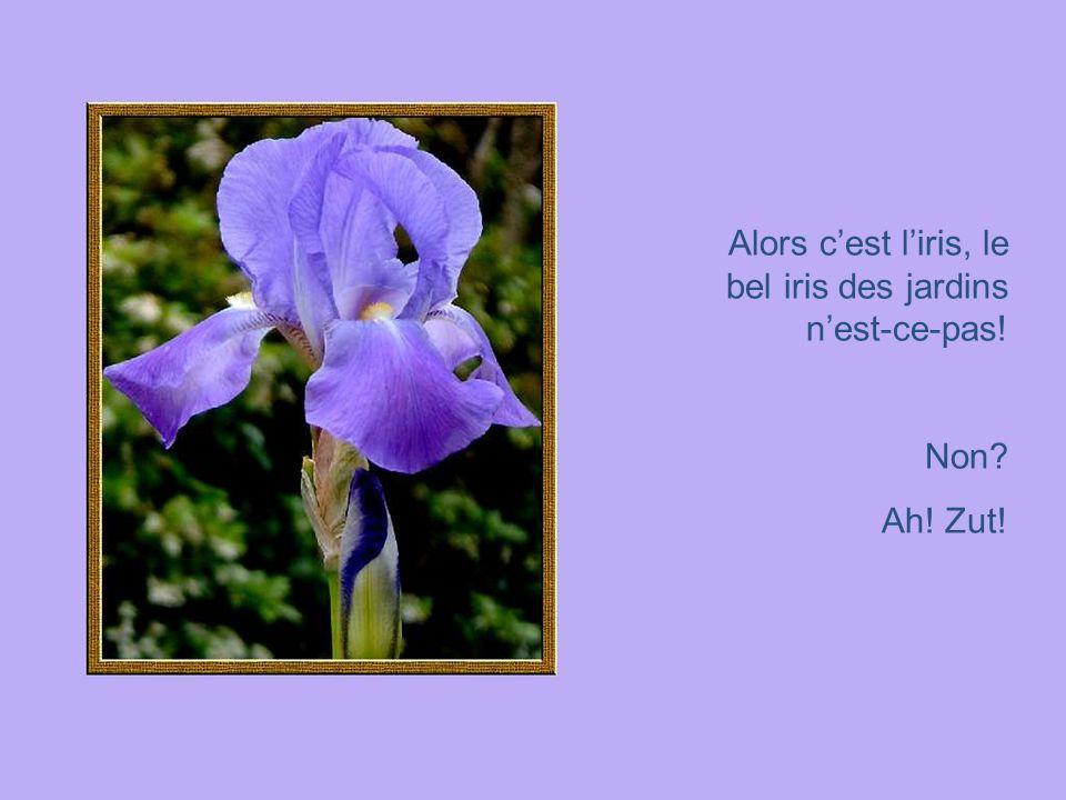 Alors c'est l'iris, le bel iris des jardins n'est-ce-pas!