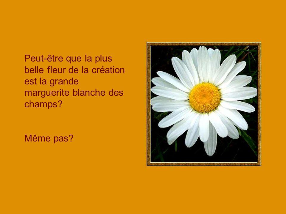 Peut-être que la plus belle fleur de la création est la grande marguerite blanche des champs