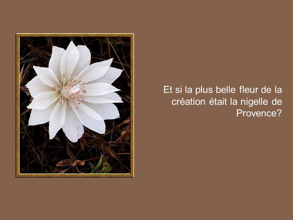 Et si la plus belle fleur de la création était la nigelle de Provence