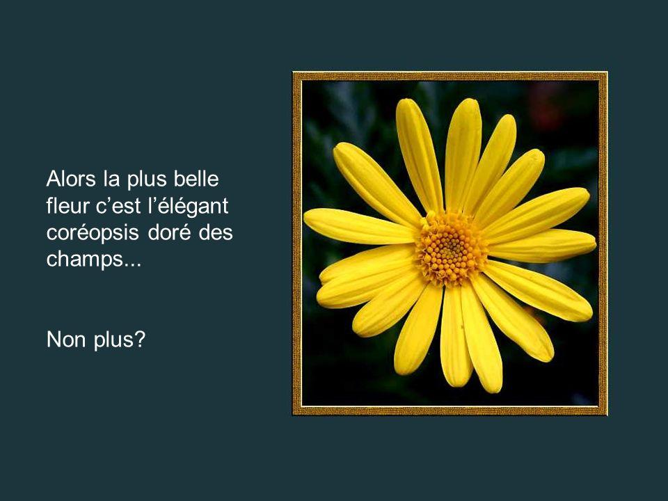 Alors la plus belle fleur c'est l'élégant coréopsis doré des champs...