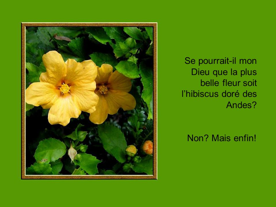 Se pourrait-il mon Dieu que la plus belle fleur soit l'hibiscus doré des Andes
