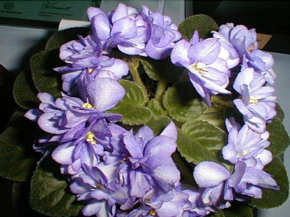 Le violet exprime la délicatesse Et la profondeur des sentiments.