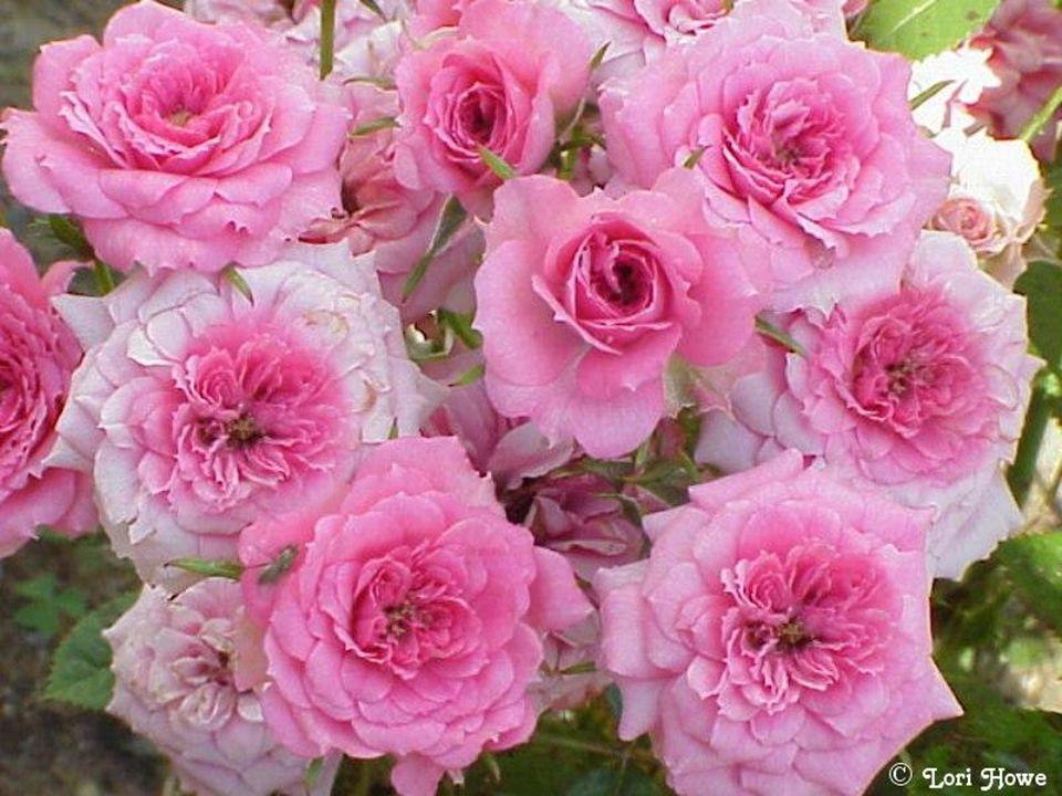 Le rose évoque la douceur et la tendresse.