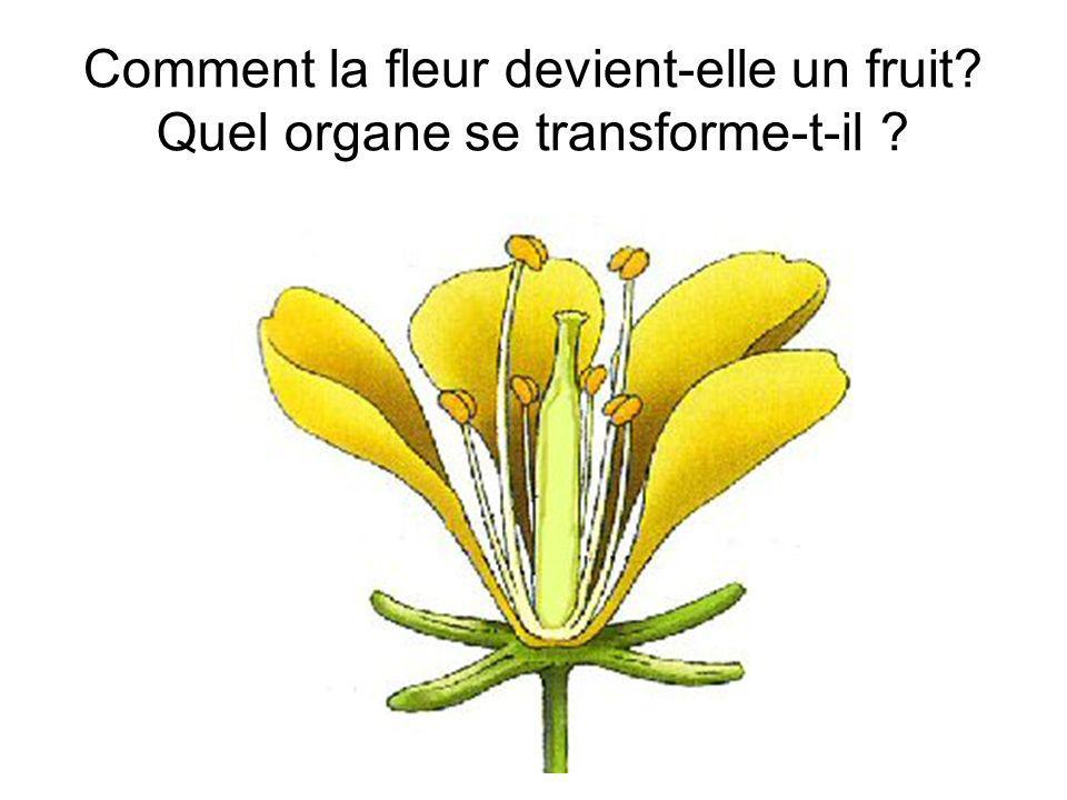 Comment la fleur devient-elle un fruit Quel organe se transforme-t-il