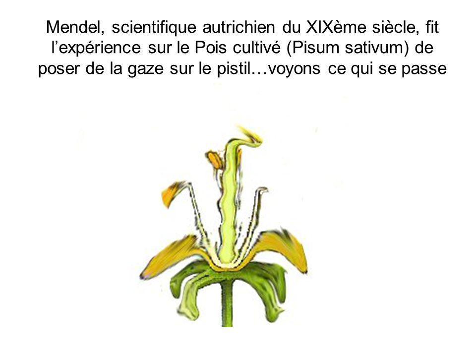 Mendel, scientifique autrichien du XIXème siècle, fit l'expérience sur le Pois cultivé (Pisum sativum) de poser de la gaze sur le pistil…voyons ce qui se passe