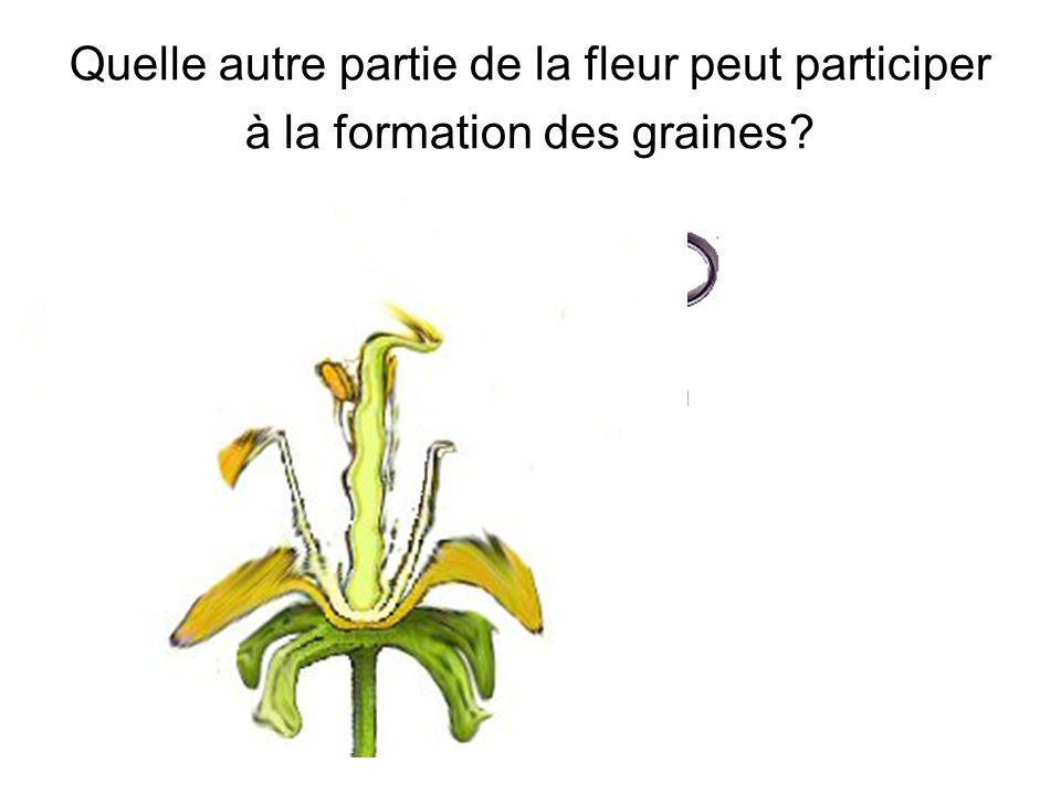 Quelle autre partie de la fleur peut participer à la formation des graines