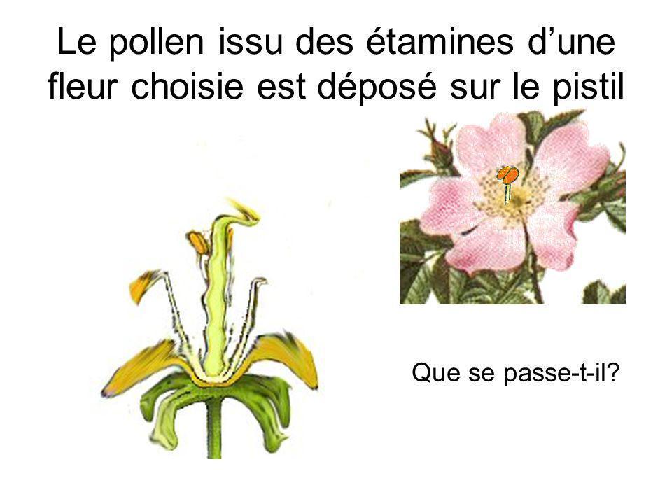 Le pollen issu des étamines d'une fleur choisie est déposé sur le pistil