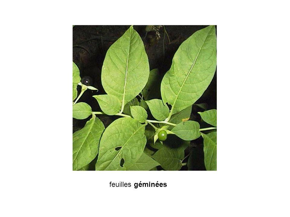 feuilles géminées