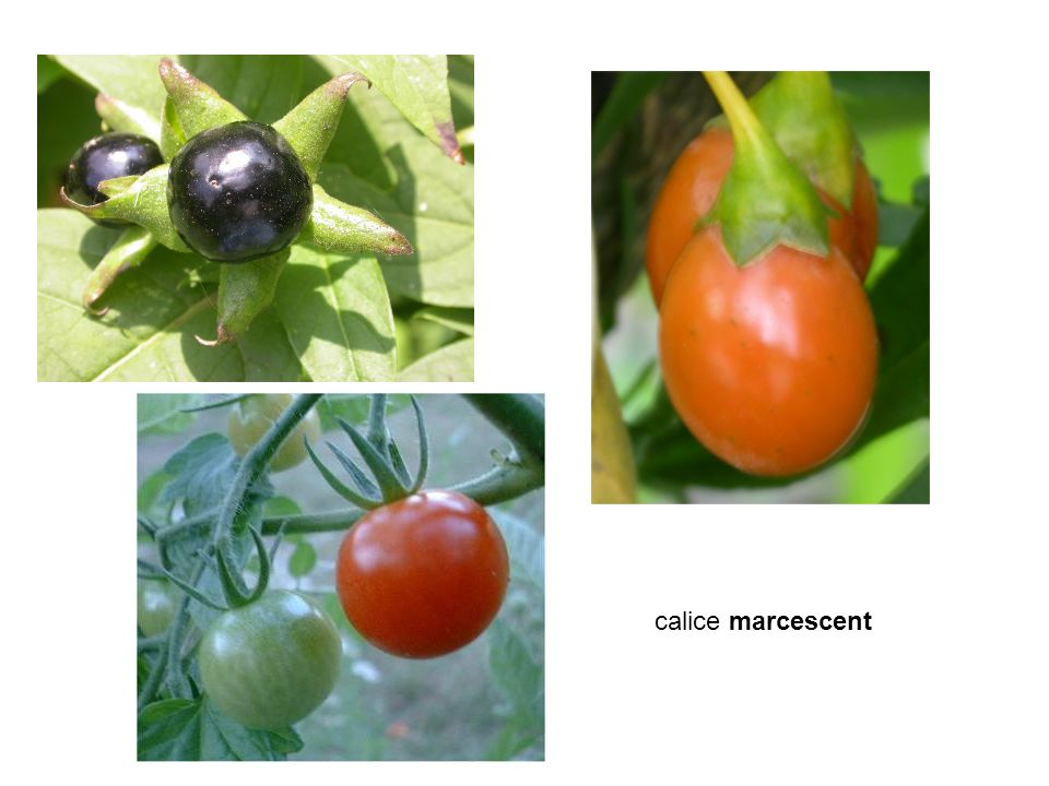calice marcescent