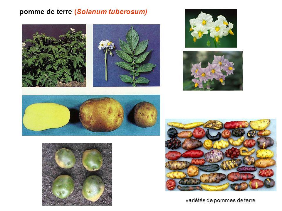 pomme de terre (Solanum tuberosum)