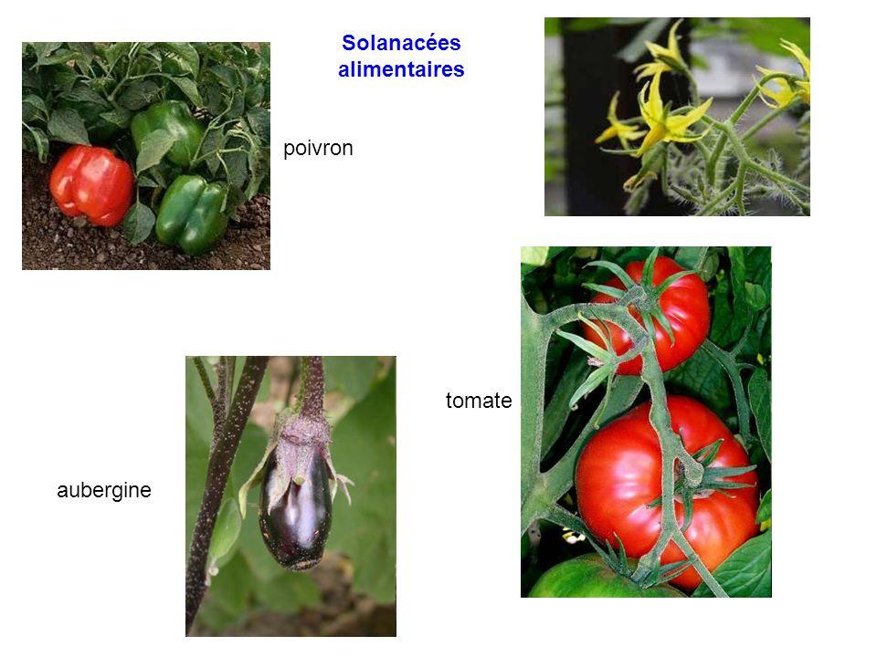Solanacées alimentaires poivron tomate aubergine