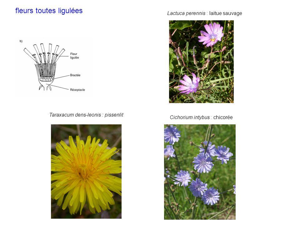 Taraxacum dens-leonis : pissenlit