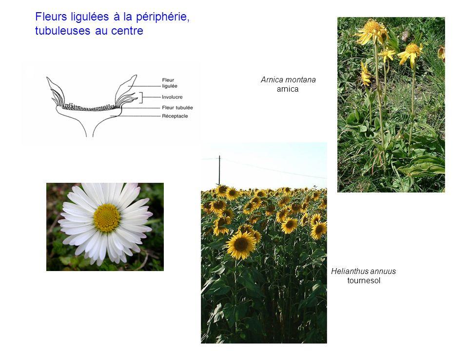 Fleurs ligulées à la périphérie, tubuleuses au centre