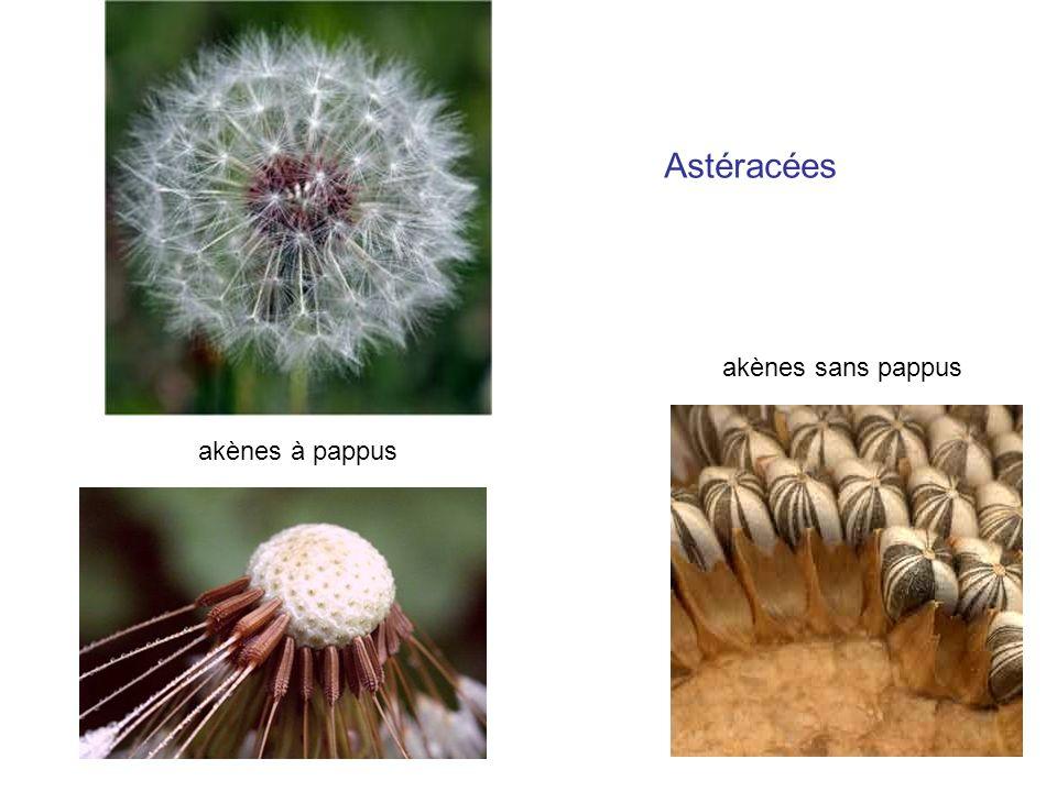Astéracées akènes sans pappus akènes à pappus