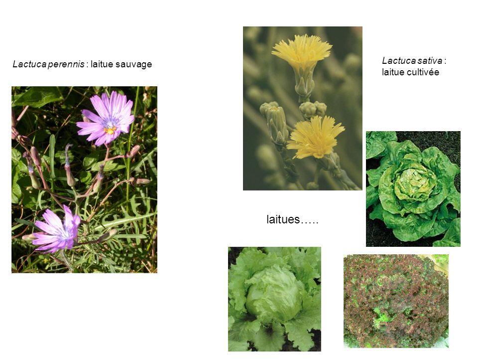 laitues….. Lactuca sativa : Lactuca perennis : laitue sauvage