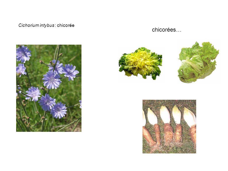 Cichorium intybus : chicorée