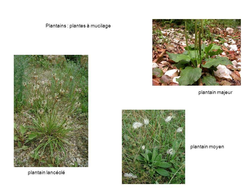 Plantains : plantes à mucilage