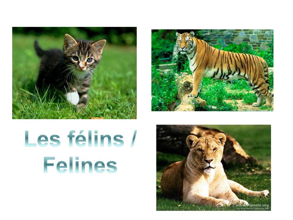 Les félins / Felines