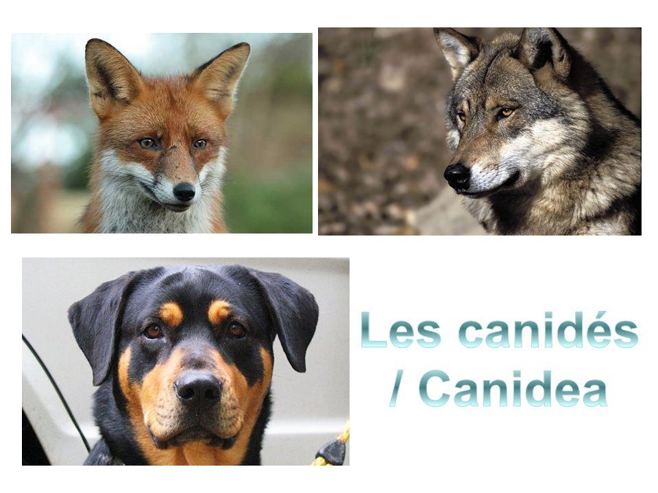 Les canidés / Canidea