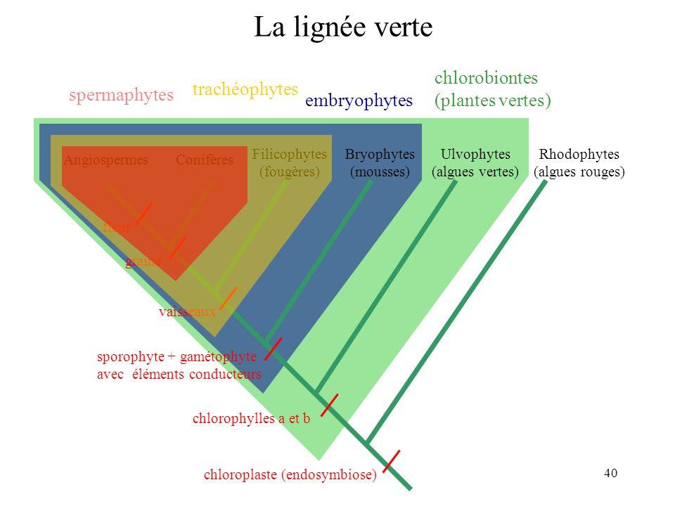 La lignée verte chlorobiontes (plantes vertes) trachéophytes