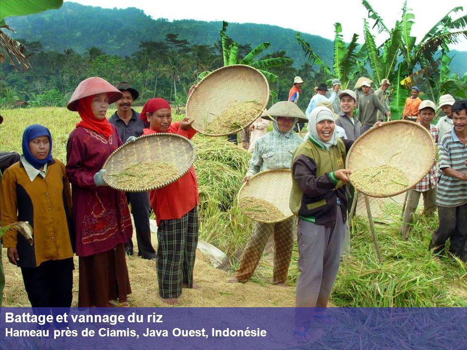 Battage et vannage du riz