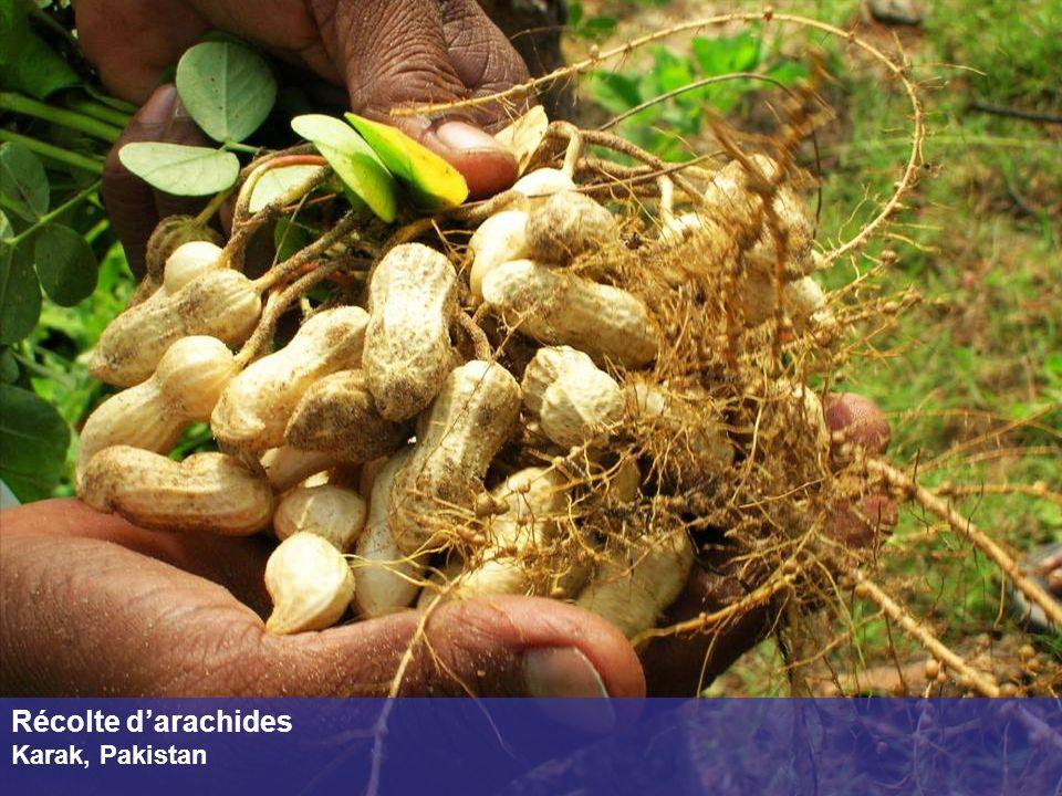 Récolte d'arachides Karak, Pakistan