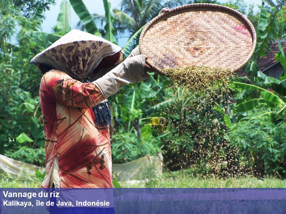 Vannage du riz Kalikaya, île de Java, Indonésie