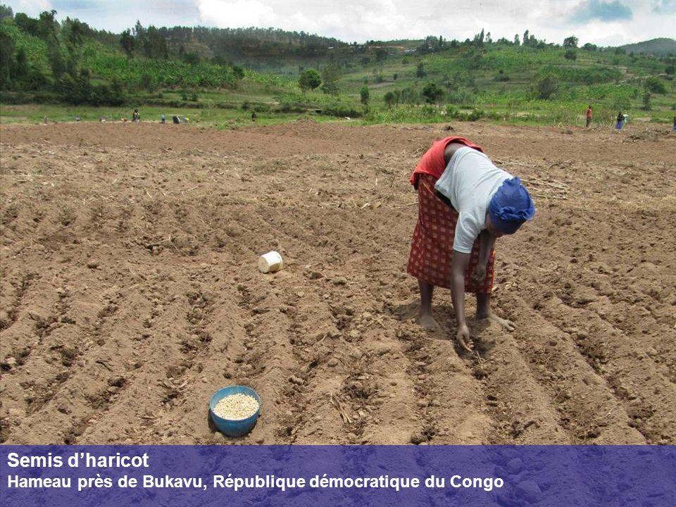 Semis d'haricot Hameau près de Bukavu, République démocratique du Congo