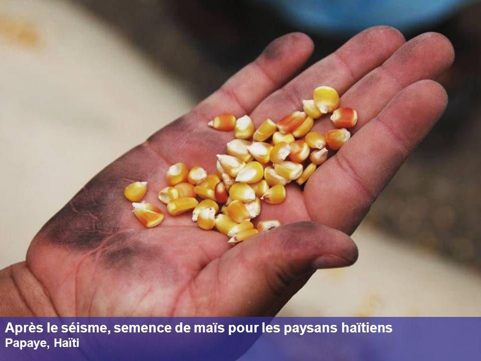 Après le séisme, semence de maïs pour les paysans haïtiens