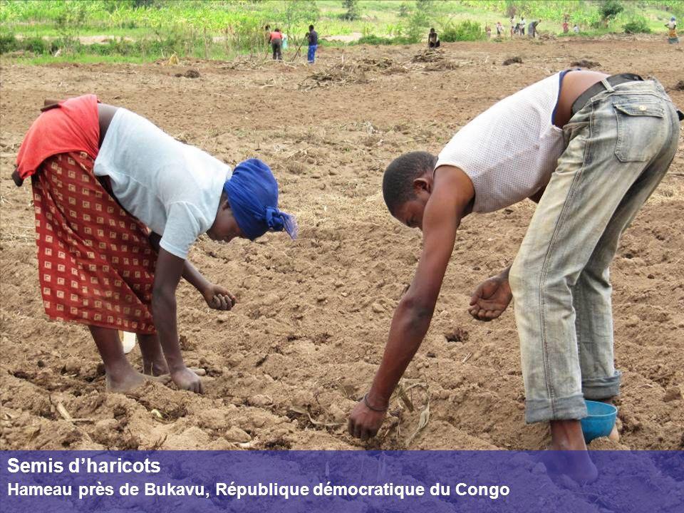 Semis d'haricots Hameau près de Bukavu, République démocratique du Congo