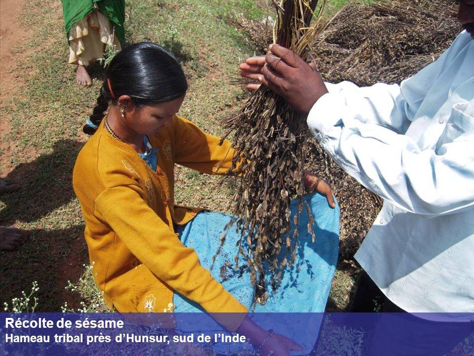 Récolte de sésame Hameau tribal près d'Hunsur, sud de l'Inde